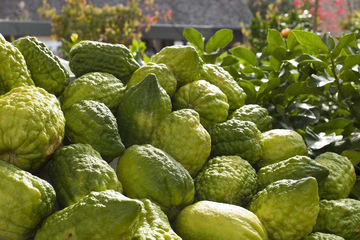 citrus-medica-corseou-cedrat-de-corse-norm